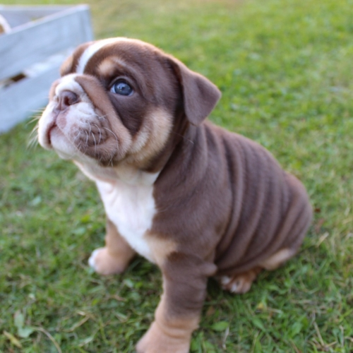 Hello My Wife And I Have Healthy And Adorable English Bulldog