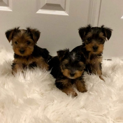 Gorgeous Rare Colored AKC YORKIE Puppies Available! Ready To Go.