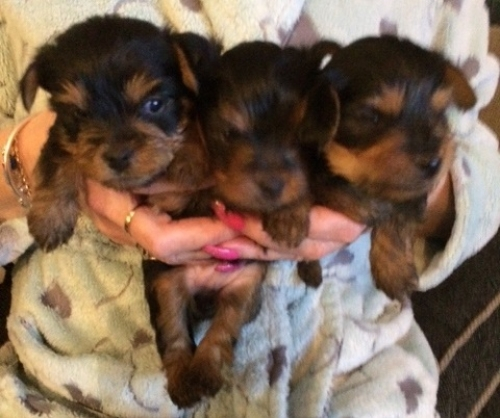 Free Yorkshire Gorgeous Puppies Not For Sell Free