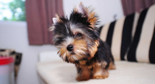 Two Teacup Yorkie Puppies Needs A New Family