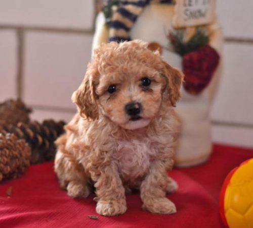 Very Lovely And Friendly Poodle Puppies For Free Adoption