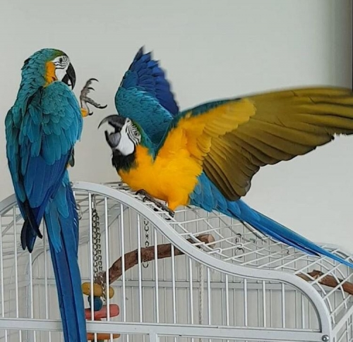 We Have Blue And Gold Macaws Parrots Available Now For New Home