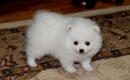 Adorable Pedigree Pomeranian Puppies Ready
