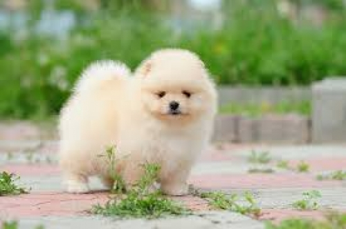 Pomeranian Puppies For Sale Now To Loving Homes