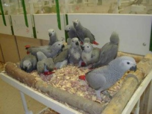 Friendly Male And Female African Grey Parrots719-345-6157