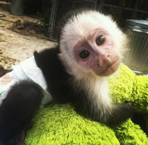 Capuchin Monkey For Adoption.