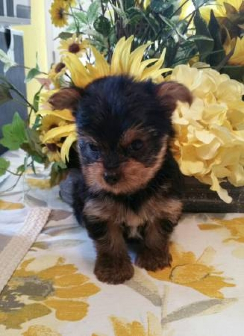 Cute Akc Teacup Yorkie Puppies!
