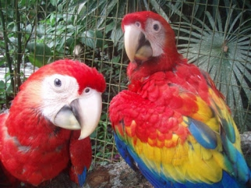 10 Months Sweet And Lovely Scalet Macaws For Free Adoption