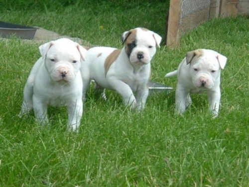 Lovely American Bulldog Puppies For Adoption