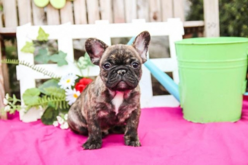 Free French Bulldog Puppies For Any Loving Home