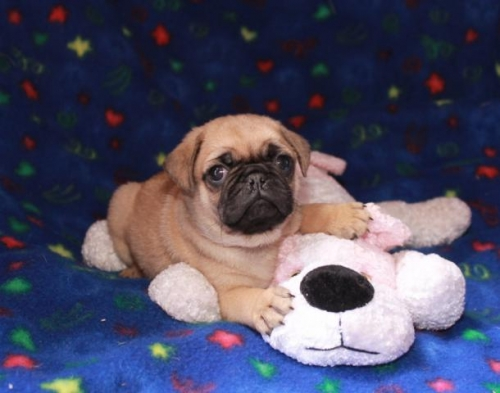 Sweet Pug Puppies For Free Adoption