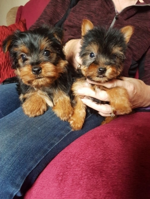 Tiny Adorable Baby Yorkie Pup  2407514843