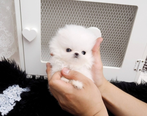 12 Weeks Old Teacup Pomeranian Puppies Available