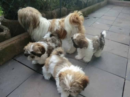 Healthy Shih Tzu Puppies For Sale!
