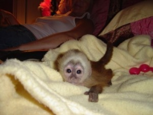 Capuchin Monkey For Adoption