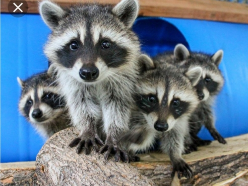 ISO. WANTED 2  BABY COON GIRLS