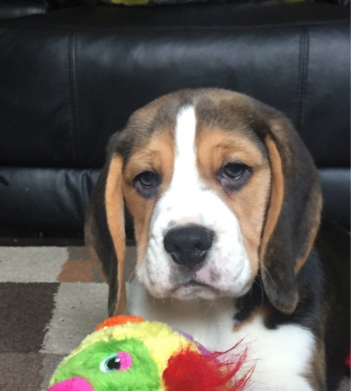 Nice Looking Beagle Puppies Text 650 735-3987