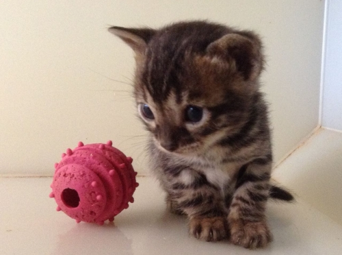 MALE AND FEMALE BENGAL KITTENS FOR NEW HOMES.