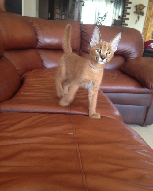 Sphynx Kitten classifieds on Cats in all for Sale pets