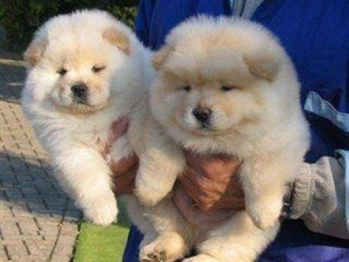 Beautiful CREAM CHOW CHOW Puppies