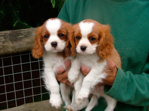 ✔ ✔ Eye-Catching ☮ Cavalier King Charles Spaniel ☮ Puppies ✔ ✔
