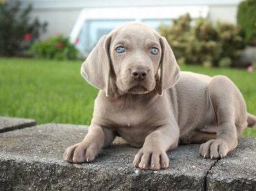 ♥‿♥ ✿ Stunning ☮ Male ☮ Female ☮ Weimaraner ☮ Puppies ♥‿♥ ✿