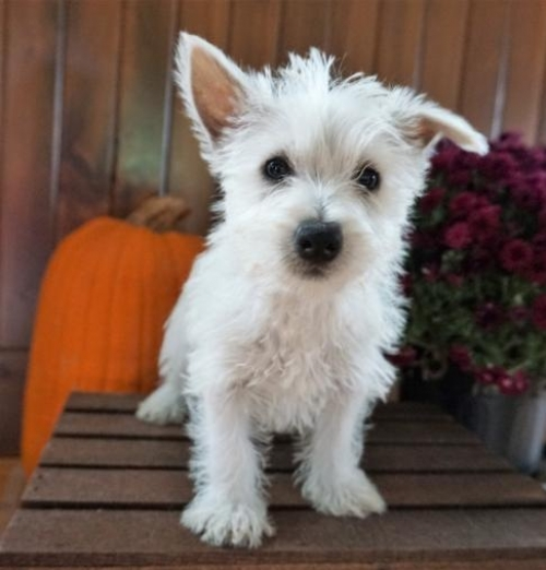 CKC ☮ Male ???? Female ???? West Highland Terrier Puppies