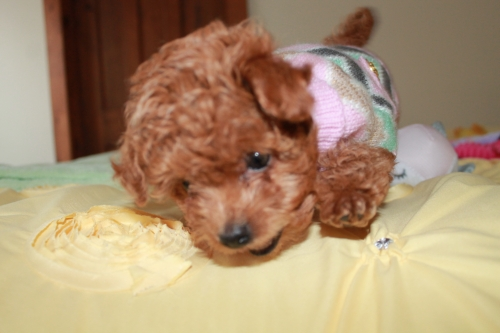 Amazing Toy Poodle Puppies Available
