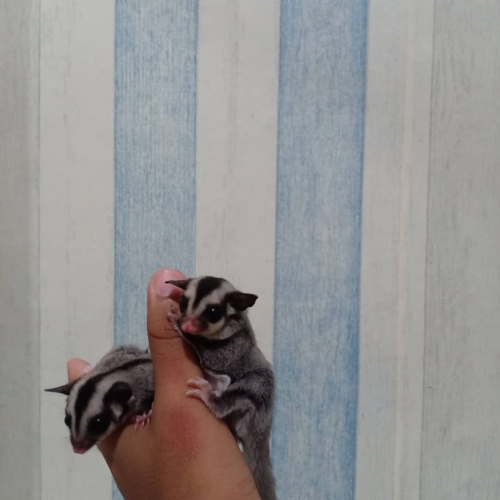 Male And Female Bonded Sugar Gliders