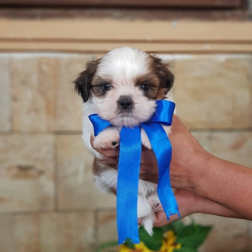 Cute Teacup Shih Tzu Puppies For Sale