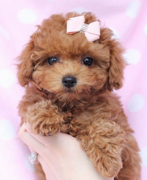 Kc Deep Red Toy Poodle Puppies