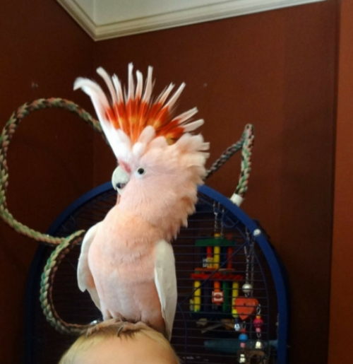 Birds Pets classifieds for Sale or rent