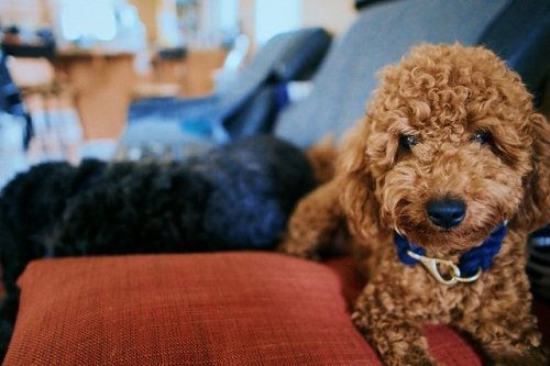 Pure Bred Toy Poodle Puppies Available