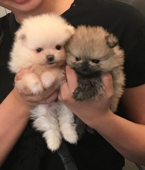 Very Cute Pomeranian Puppies For Adoption