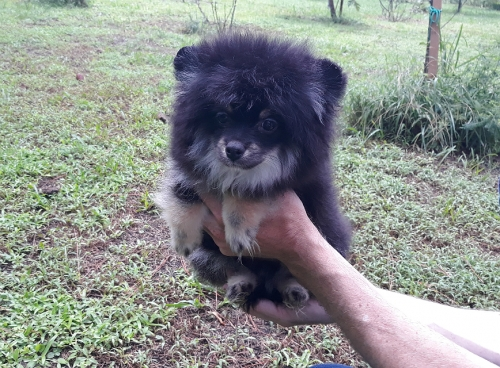 Black With Tan And White Chest Pomeranian Puppy Male