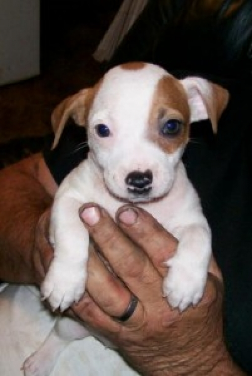 Lovely Jack Russell Terrier Puppies For Sale Text 410 449 0567
