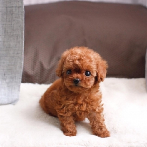 Perfect Home Raised Toy Poodle Puppies