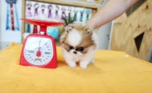 Teacup Pomeranian Puppies Now Available..