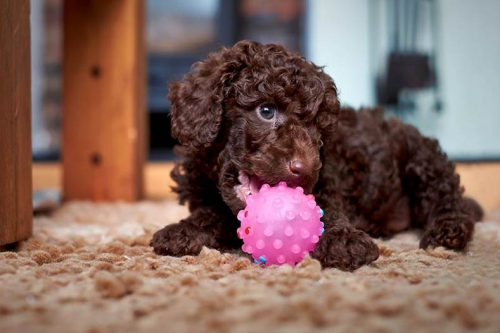Pure Bred Toy Poodle Puppies Available.