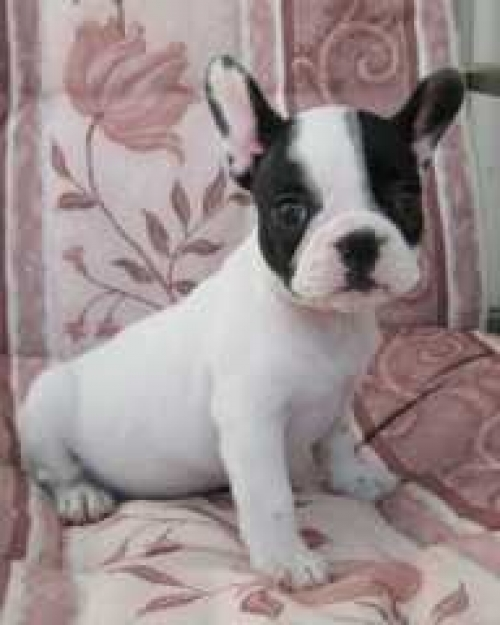 House Male And Female French Bulldog Puppies.