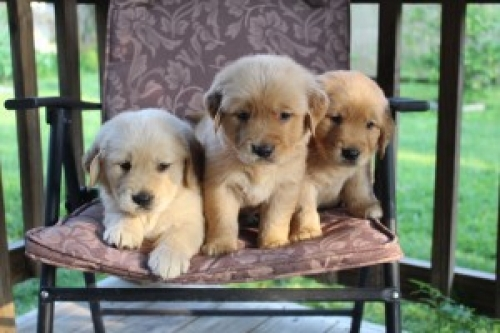 Friendly Golden Retriever Puppies Text 410 449 0527