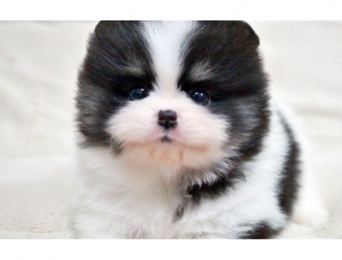 Beautiful White Pomeranian Puppies Ready Now.