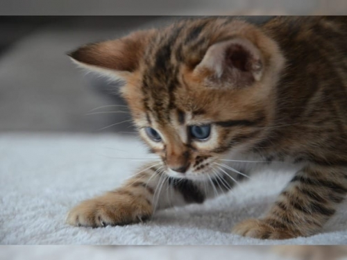 T.I.C.A Registered Male And Female Bengal Cats And Kittens For Sale 838 396-4033