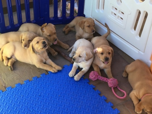 Golden Retriever  Puppies For Adoption.