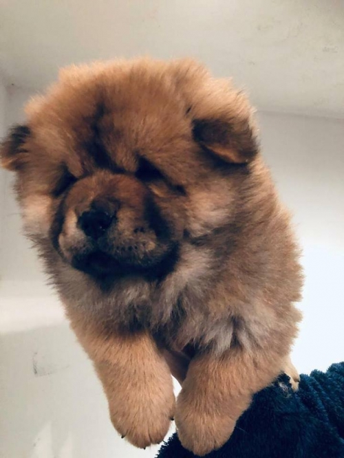 Male And Female Chow Chow Puppies!!