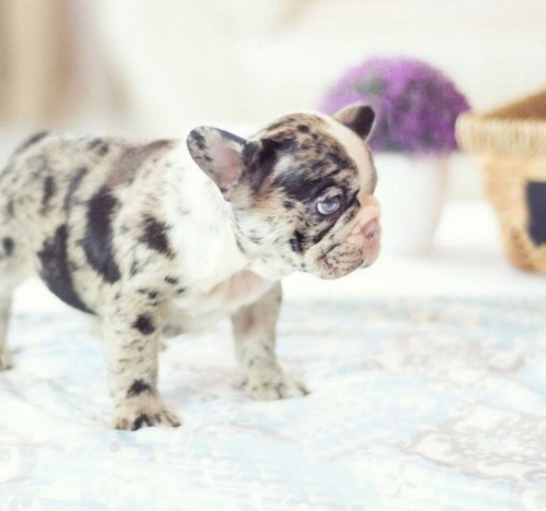 Quality Male And Female French Bulldog Puppy 11 Weeks Old