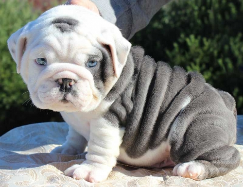 Healthy Male And Female English Bulldog Puppies