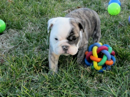 Quality English Bulldog Puppies - For Sale