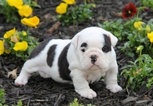 Adorable AKC English Bulldog Puppies For Sale - For Saleww