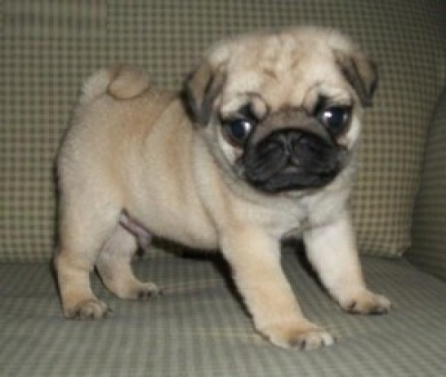 Silver Pug Puppies To Give Away